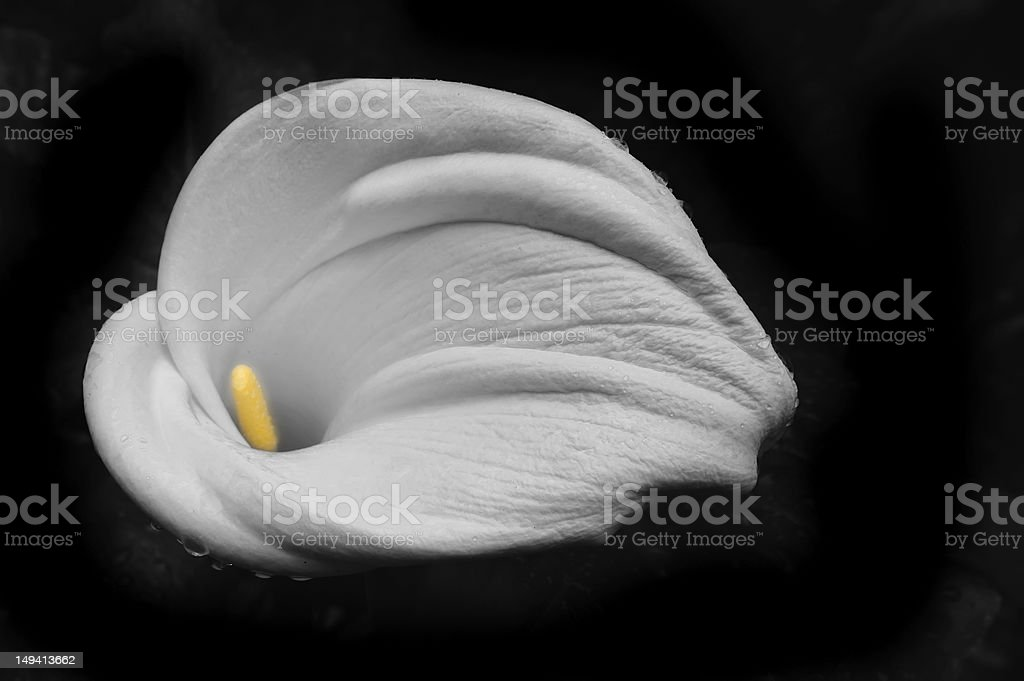 Calla Lily on Black, Yellow Stamen stock photo