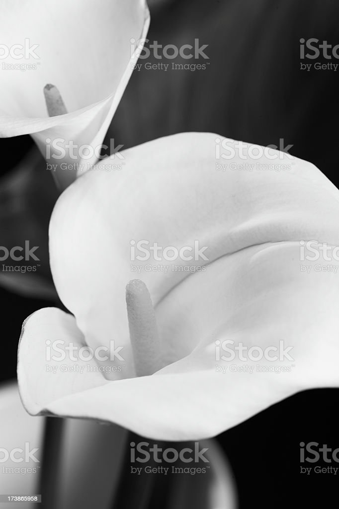 Calla lily pair close up black and white stock photo