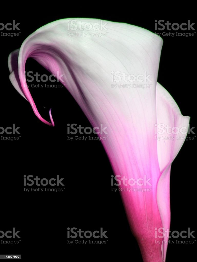 Calla lily #8 royalty-free stock photo