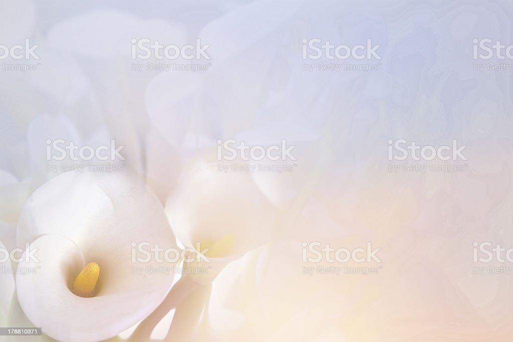 calla lily stock photo