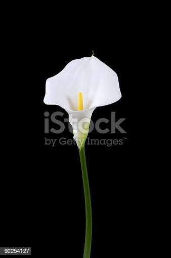 Calla lily on black background