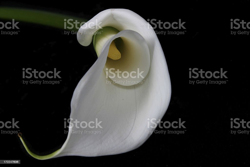 Calla Lily Series (on black) royalty-free stock photo
