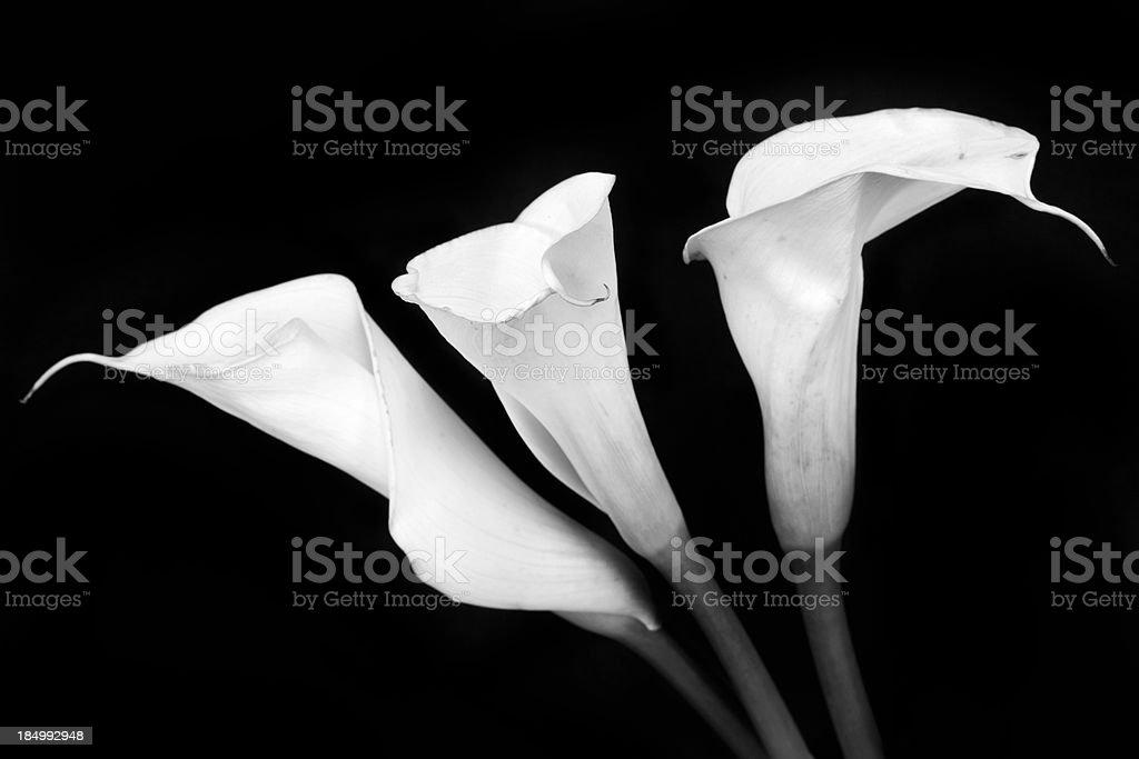 Calla Lily Series stock photo
