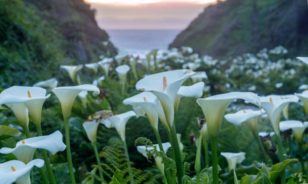 Calla Lily Valley in bloom. stock photo