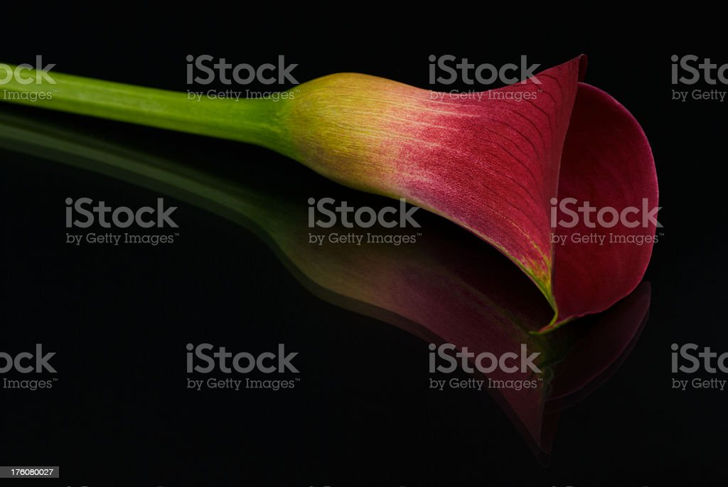Calla Lily with Reflection royalty-free stock photo