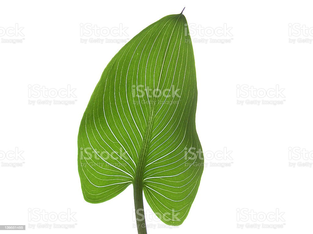 calla one stock photo