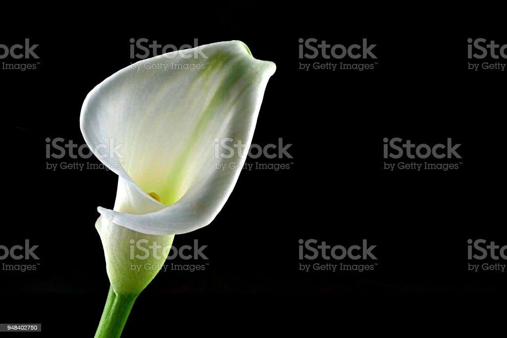 Calla mit schwarzem Hintergrund, vertikal, aufrecht - Zantedeschia Aethiopica- – Foto