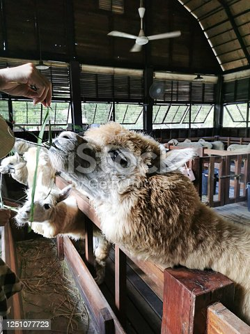 A cute llama was feeding by farmer