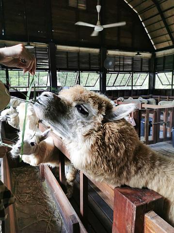 A cute llama was feeding by farmer