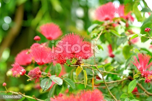 Native to tropical and subtropical regions, calliandra emarginata is in the pea family and blossoms are present all year around, but the best blooming period is spring and summer, producing brilliant red powder puff–like flowers with numerous and conspicuous stamens grouped together in a ball-shaped inflorescence. The blooms are brilliant red and stand out.