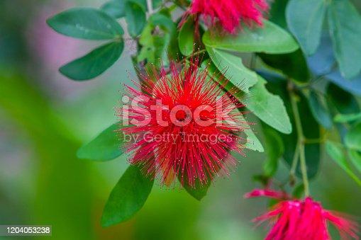 Calliandra haematocephala red flower puff in tropical garden