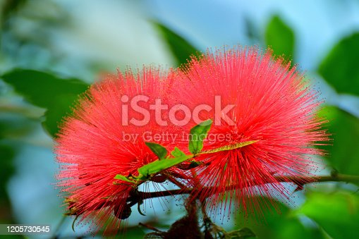 Native to tropical and subtropical regions, calliandra haematocephala is in the pea family and is very popular evergreen flowering shrub/tree, producing brilliant red/white powder puff–like flowers with numerous and conspicuous stamens (the filaments that hold pollen at their top), grouped together in a ball-shaped inflorescence. It blooms primarily in fall and winter, but sporadic additional bloom may occur throughout the rest of the year. The blooms are brilliant red or white and stand out.