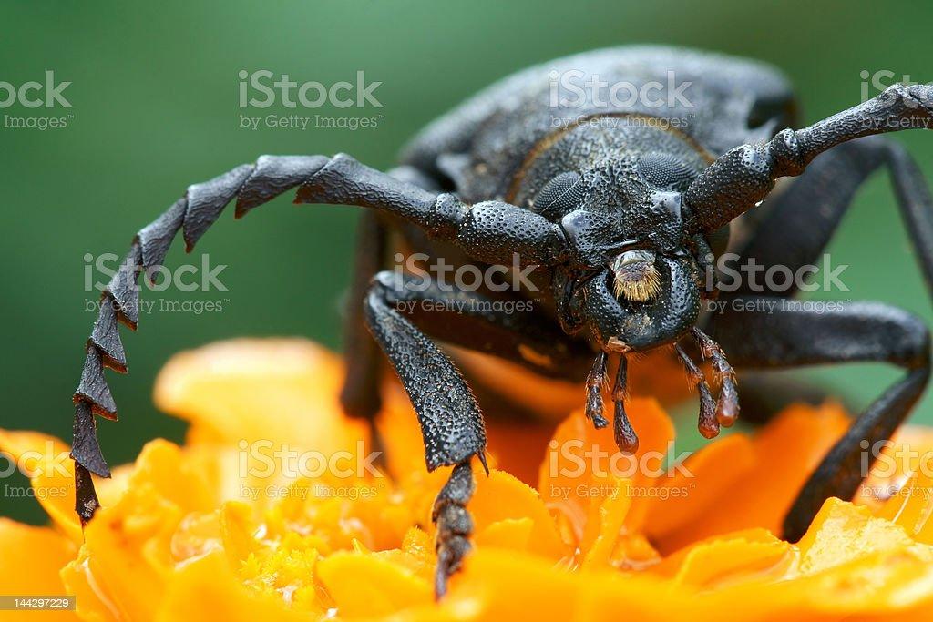 Callidium violaceum (bug) royalty-free stock photo