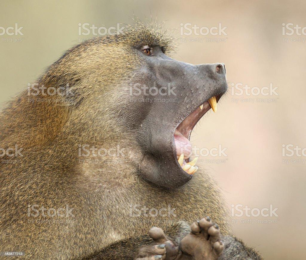 Calling Guinea baboon (Papio pap.) stock photo