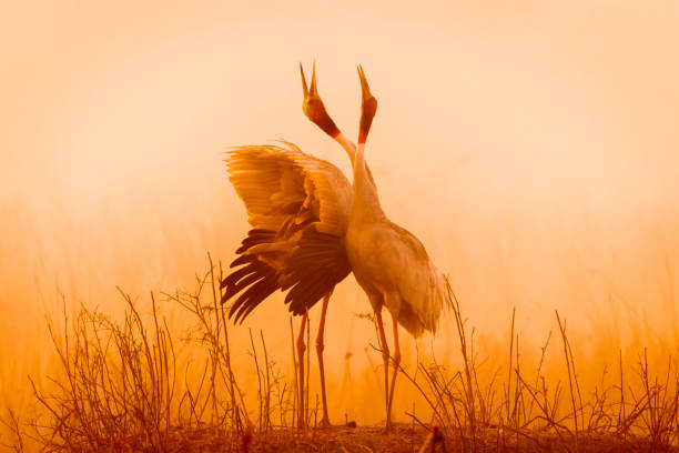 calling in the wild! - crane bird stock pictures, royalty-free photos & images