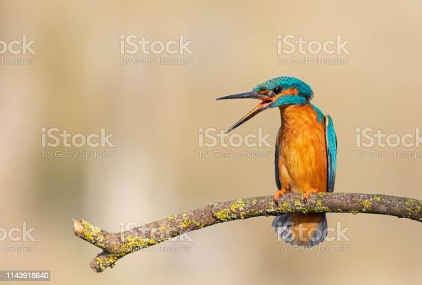 Photo of Calling male common kingfisher