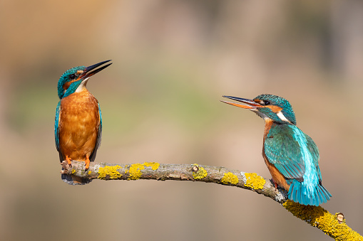 Female common kingfisher welcome the male bird.