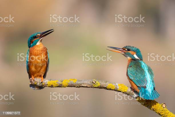 Photo of Calling pair of common kingfishers