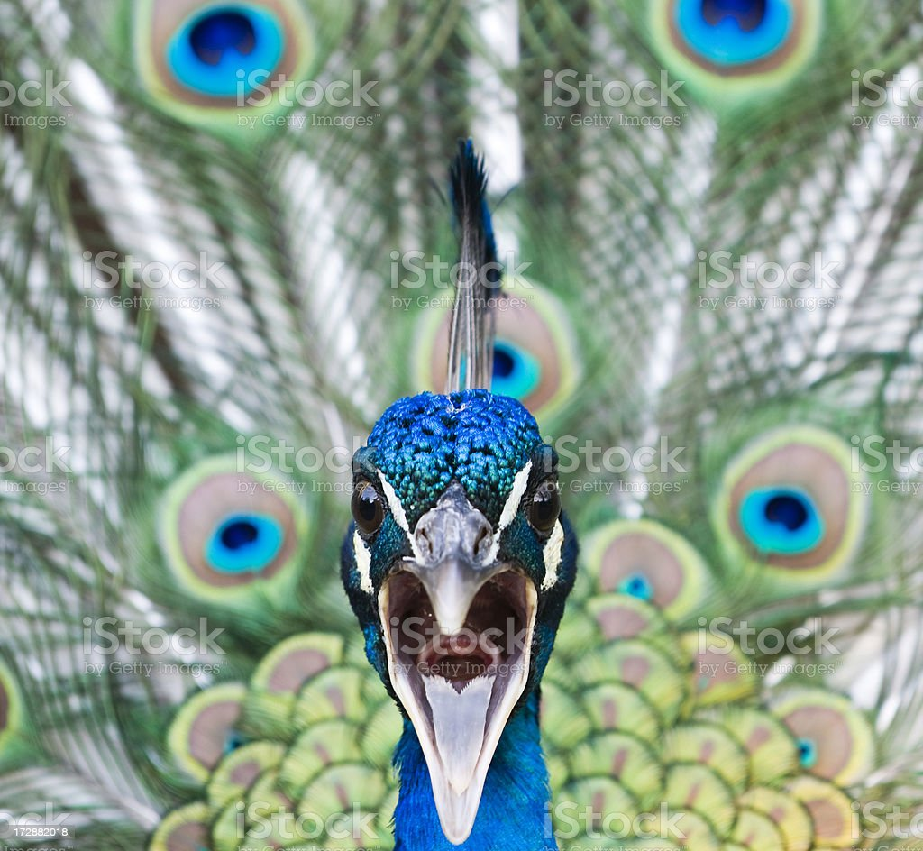 Calling peacock royalty-free stock photo
