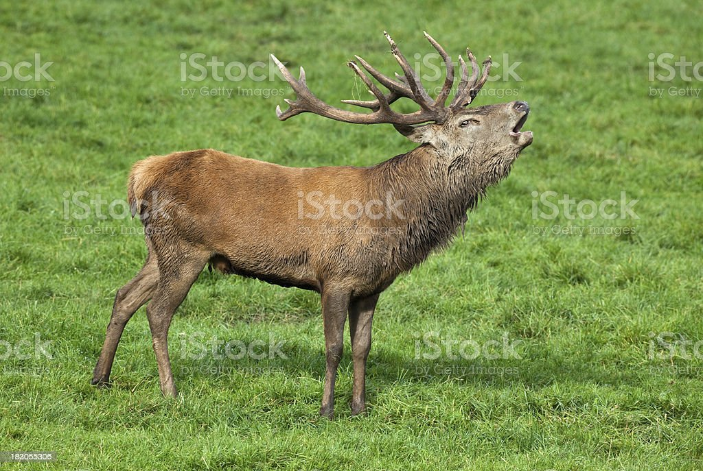 Calling Stag stock photo