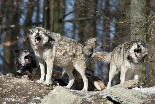 Wolves are calling in winter. Canon 5D Mark II and 4. 500mm L IS.