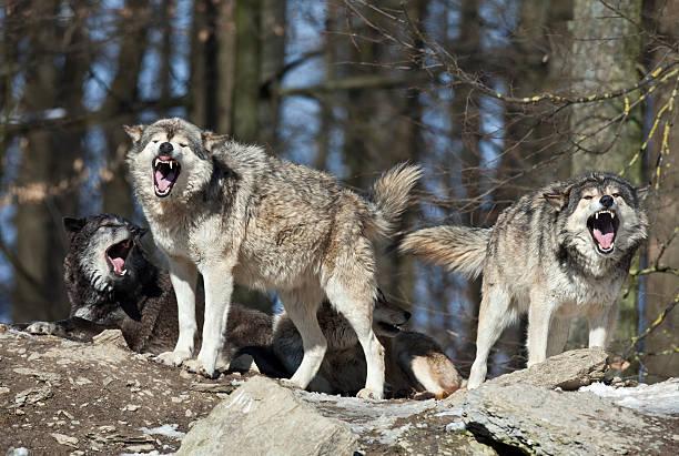 sie wolves - knurren stock-fotos und bilder