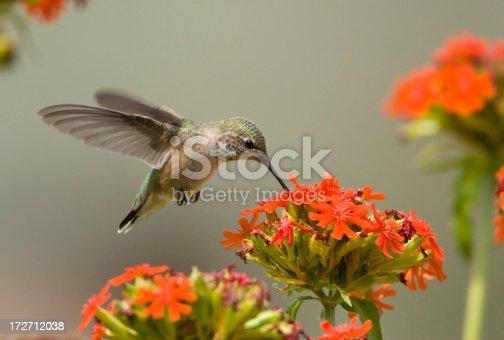 Hummingbird Hovering & feeding on flowers.