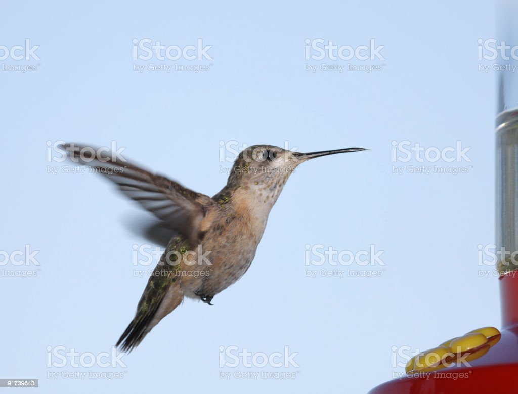 Calliope Hummingbird stock photo