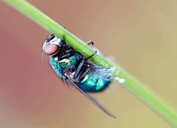 Calliphoridae The Calliphoridae (commonly known as blow flies, blow-flies, carrion flies, bluebottles, greenbottles, or cluster flies) are a family of insects in the order Diptera. alas stock pictures, royalty-free photos & images