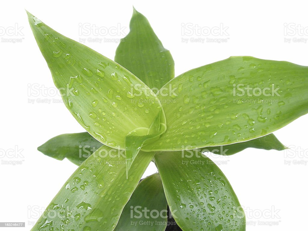Callisia fragrans – Foto
