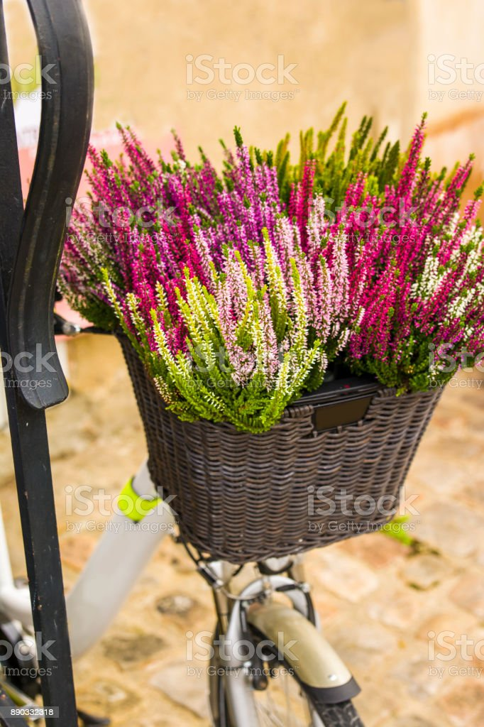 Calluna flowers in a bicycle basket stock photo