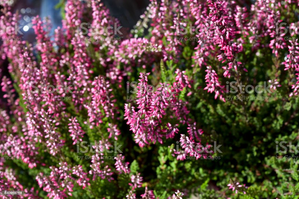 Calluna Vulgaris - Heather Can be used as a background Denmark Stock Photo