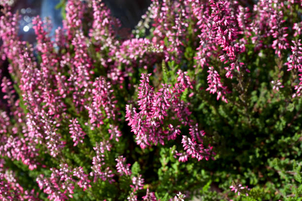Calluna Vulgaris - Heather Can be used as a background heather stock pictures, royalty-free photos & images