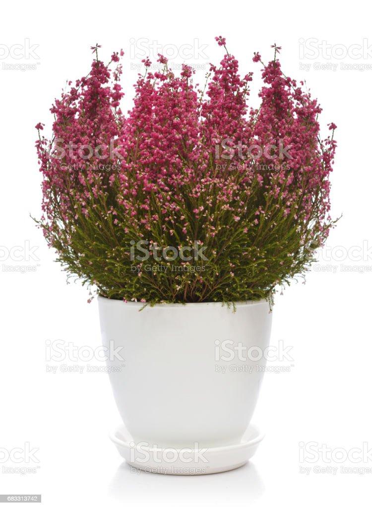Calluna vulgaris in flower pot royaltyfri bildbanksbilder