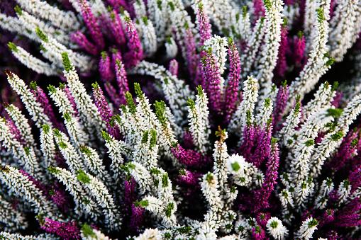 Calluna Vulgaris plants violete flowers