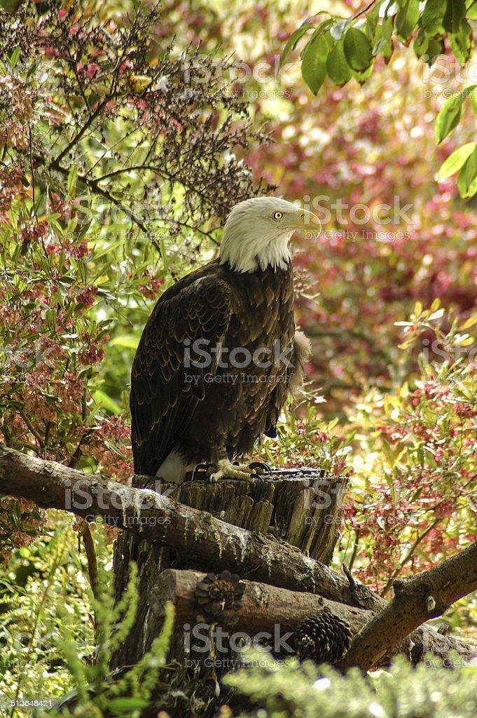 Calm Bald Eagle stock photo