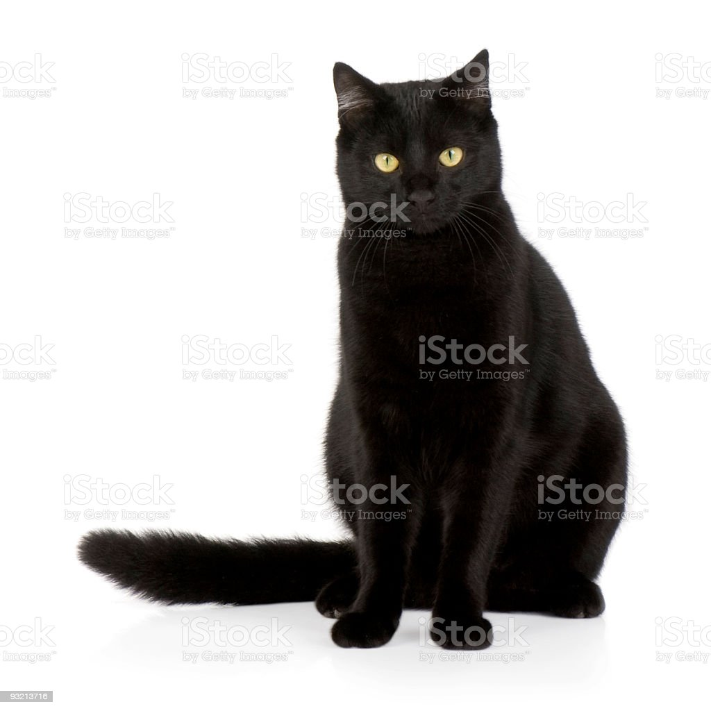 Calm black cat, sitting on a white background  royalty-free stock photo