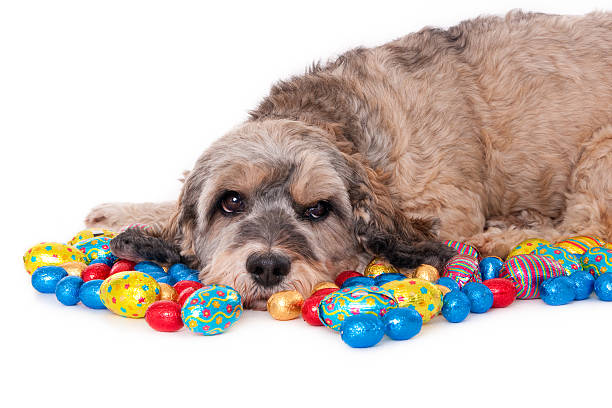 Calm crossbreed dog amidst chocolate Easter eggs Horizontal image, white background. Subject looking at camera. amidst stock pictures, royalty-free photos & images