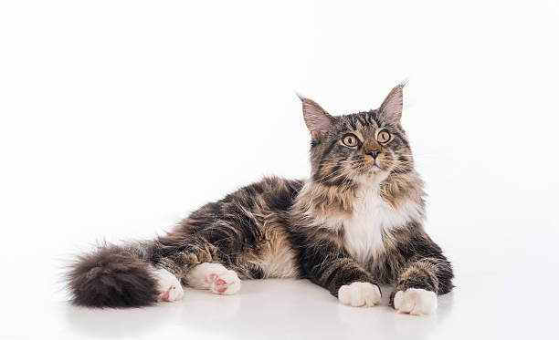 Calm Gray Maine Coon Cat Lying on White Desk stock photo