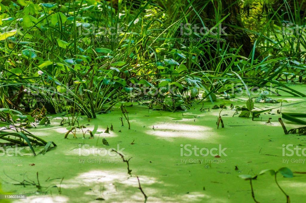 Ruhiger See mit Duckweed bedeckt – Foto