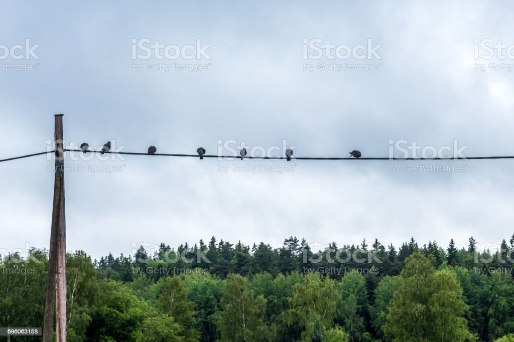 Calm landscape view of birds sitting on a telegraph wire with sky and forest in the background. royalty-free stock photo