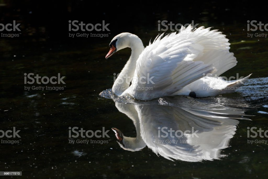 Calm reflection of aggressive swimming mute swan stock photo