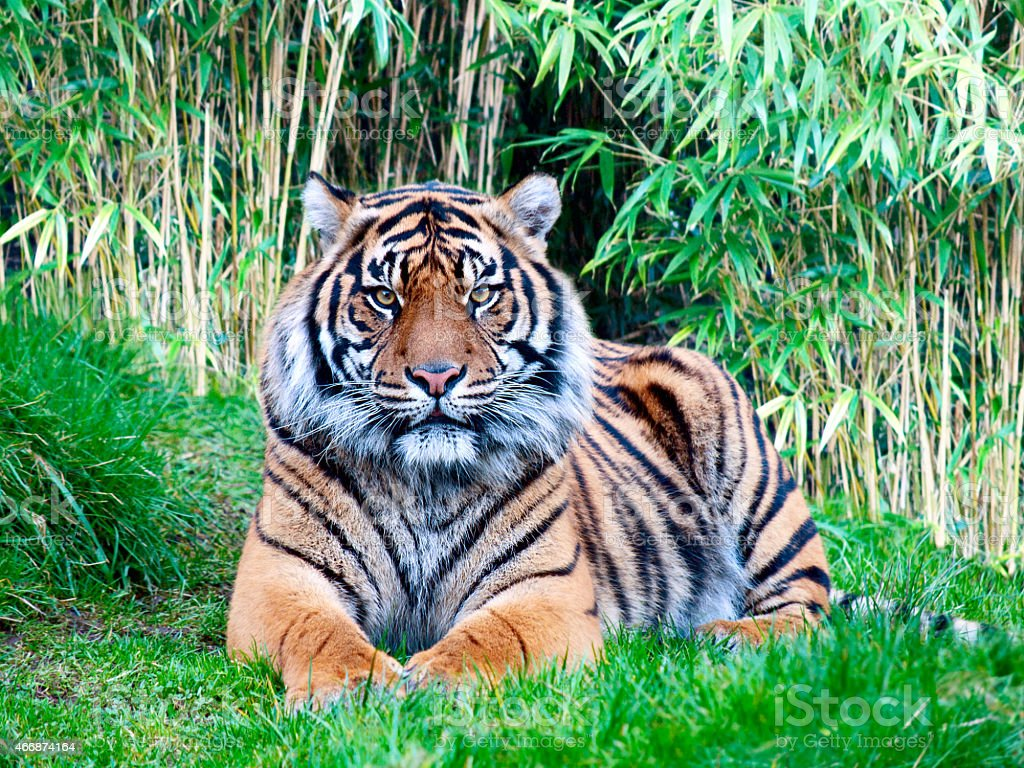 Calm Sumatran tiger resting in the jungle stock photo