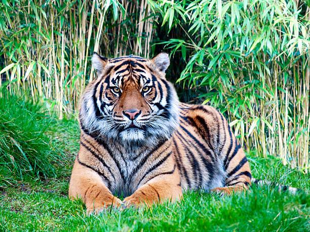 Tigre-da-Sumatra - foto de acervo