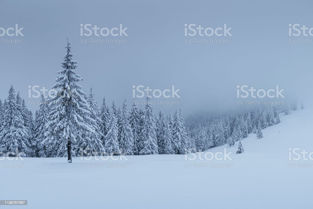 A calm winter scene. Firs covered with snow stand in a fog. Beautiful...