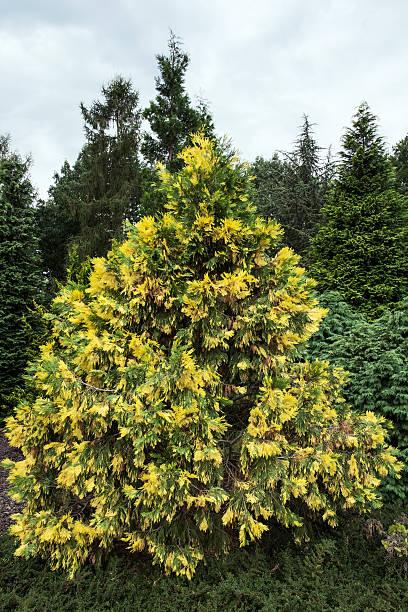 Calocedrus decurrens aureovariegata 스톡 사진