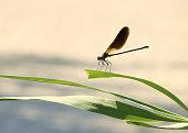 Enallagma cyathigerum is a European damselfly in dew awaiting sunrise