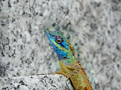 Calotes Bachae Lizard on marble surface, A garden lizard with a blue head . The scales at  back of  head look like spears