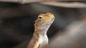 Calotes versicolor lizard close-up face