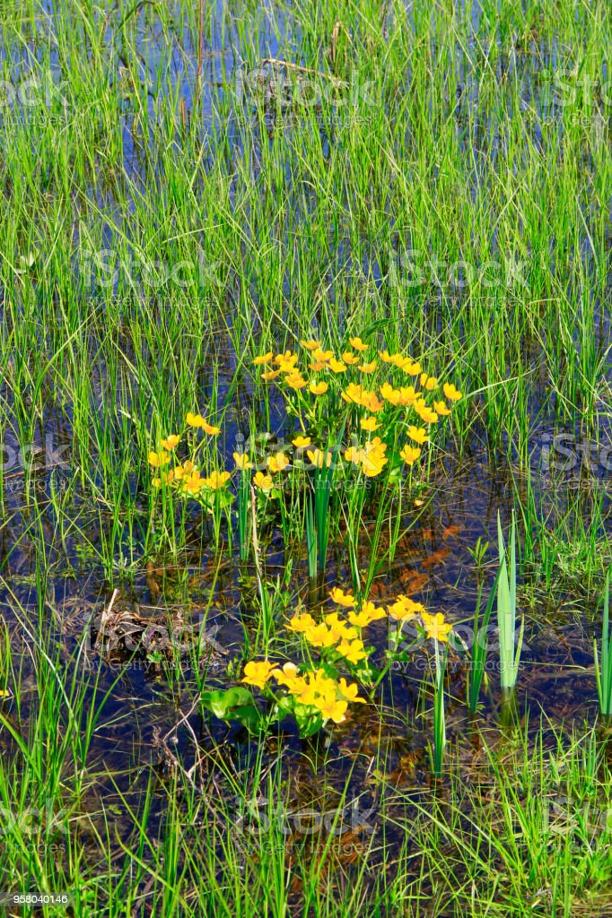 Caltha palustris growing in swamp. Spring flowers. Marsh Marigold flowers stock photo